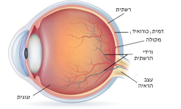 מבנה העין: רשתית, דמית (כורואיד), מקולה, ורידי הרשתית, עצב הראיה, זגוגית